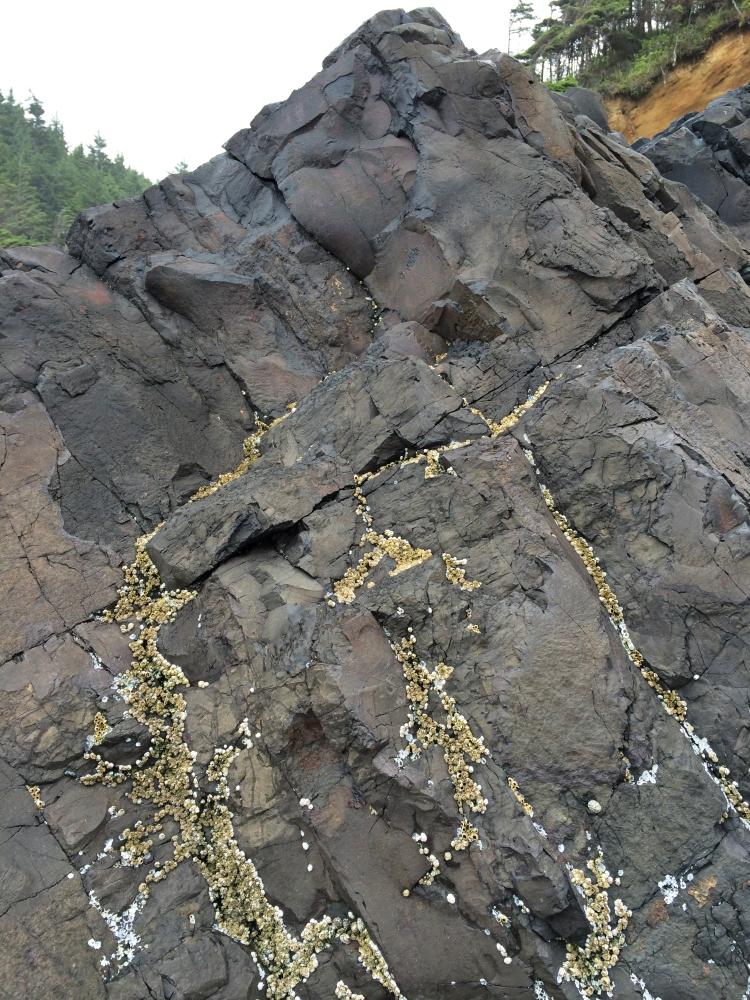 Acorn barnacles, Balanus glandula, in the supralittoral fringe