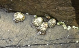 Acorn barnacles and ribbed limpets
