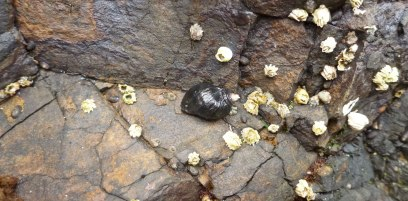Northern striped dogwinkle, acorn barnacles, and little brown barnacles