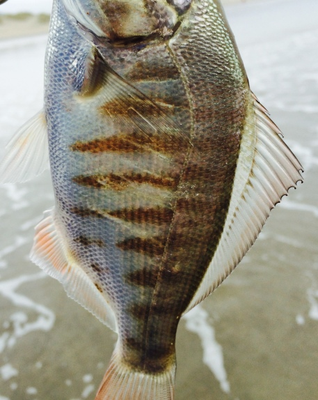 Lateral bars, juvenile redtail surfperch