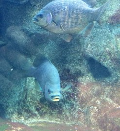 Black perch, Embiotoca jacksoni | Monterey Bay Aquarium