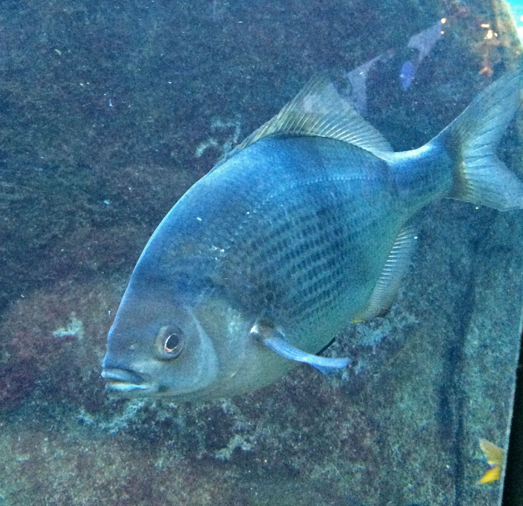 Pile surfperch, Damalichthys vacca  |  Monterey Bay Aquarium