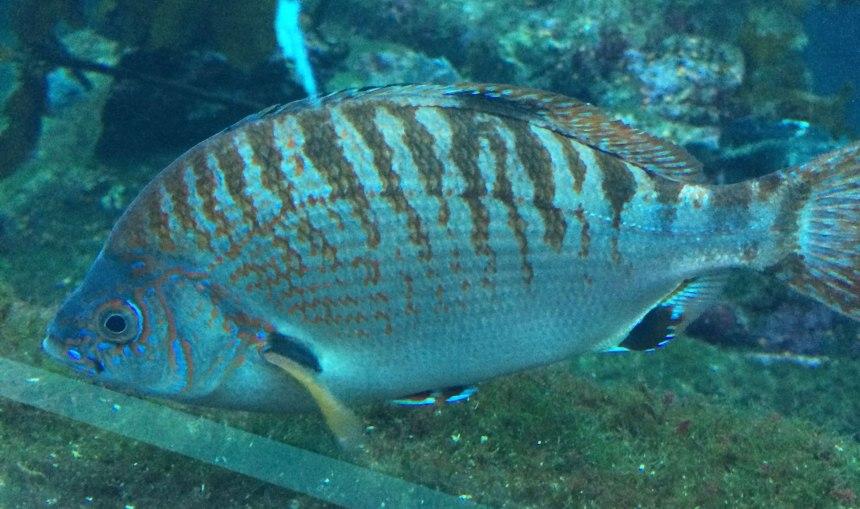 Rainbow seaperch, Hypsurus caryi