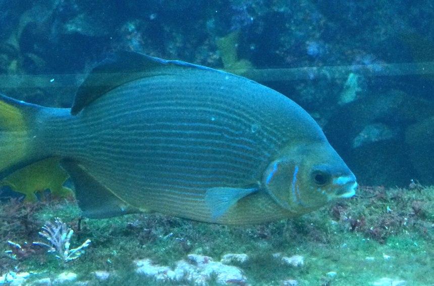 Striped seaperch, Embiotoca lateralis