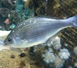 White seaperch | Monterey Bay Aquarium