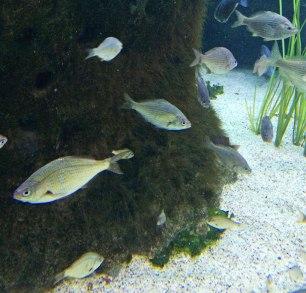 Shiner surfperch, Cymatogaster aggregata |Monterey Bay Aquarium