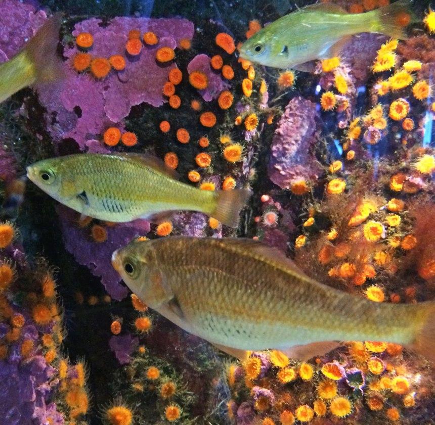 Reef perch, Micrometrus aurora | Monterey Aquarium
