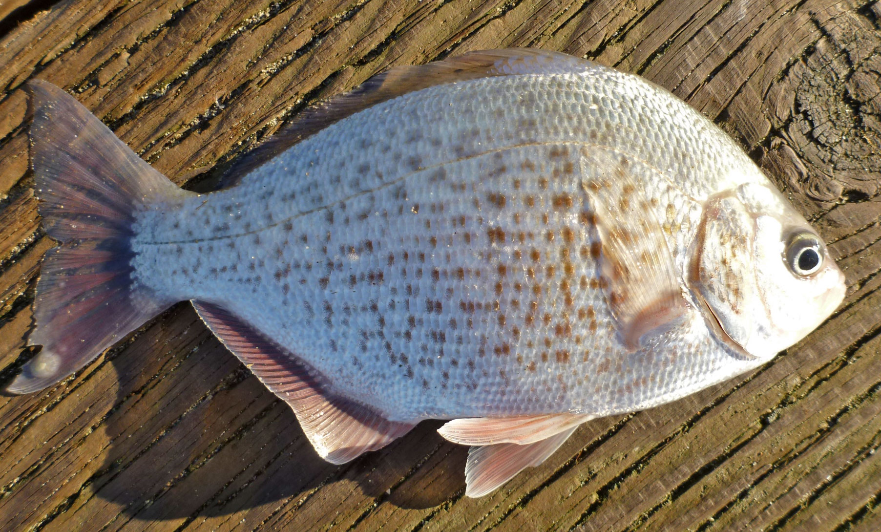 Adult female calico surfperch, Amphistichus koelzi
