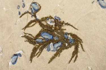 Sargassum and by-the-wind sailor