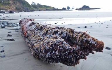 Newly arrived drift log, carpeted with pelagic goose barnacles, Lepas, anatifera