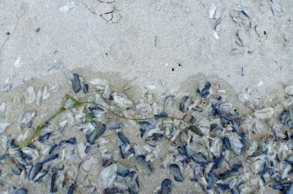 Lots of old and new Velella velella in the drift line