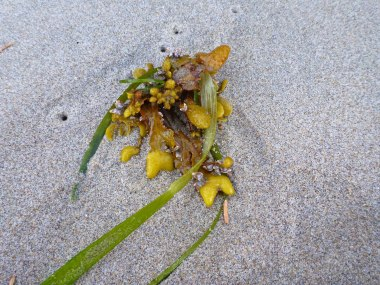 Fucus, and eel grass, Zostera