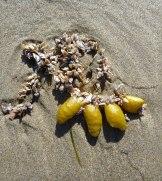 Drift Fucus and some hitchhiking pelagic goose barnacles, Lepas