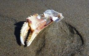 Pinching claw - Dungeness crab, Metacarcinus magister