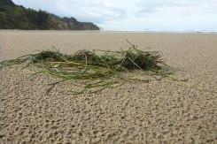 Surfgrass, Phyllospadix