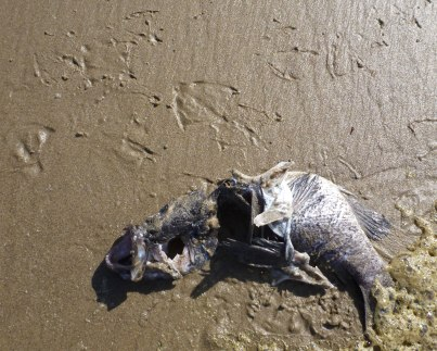 Rockfish carcass, gull tracks