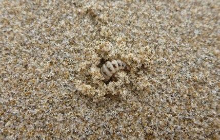 "Larval stage, Thinopinus pictus, ""see ya"""