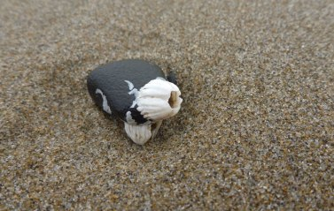 This barnacle looks oversized on such a small pebble