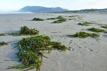 Gazing down the beach at a long lineup of drifted clumps of eelgrass