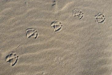 Larus tracks