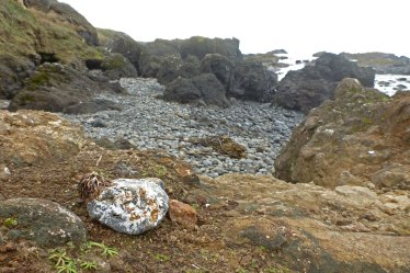 Good-sized cobble dragged ashore on drift bull kelp