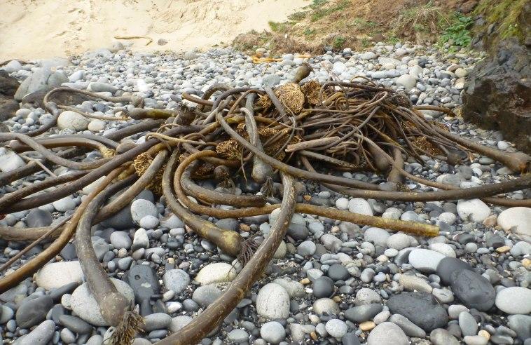 Bull kelp drift mass