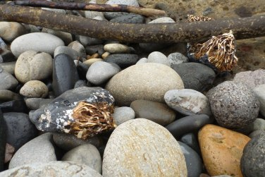 More cobble dragged ashore on bull kelp - holdfasts still attached