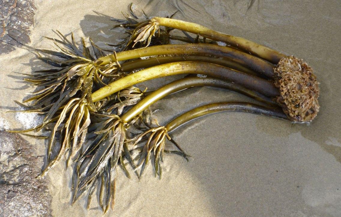 Sea palm, Postelsia palmaeformis