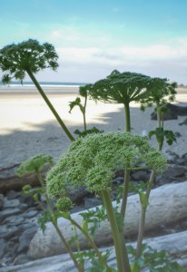Growing right down on the beach, surf in the background
