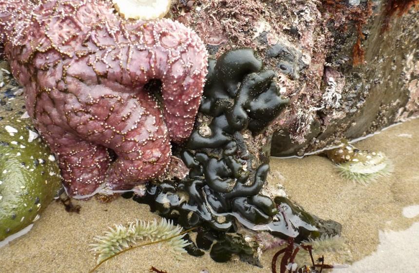 Codium next to a purple starfish
