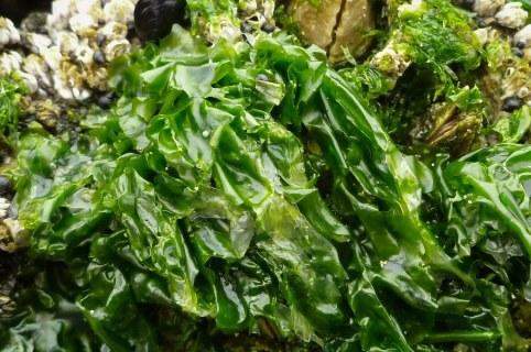 Close up of bladed Ulva amid barnacles