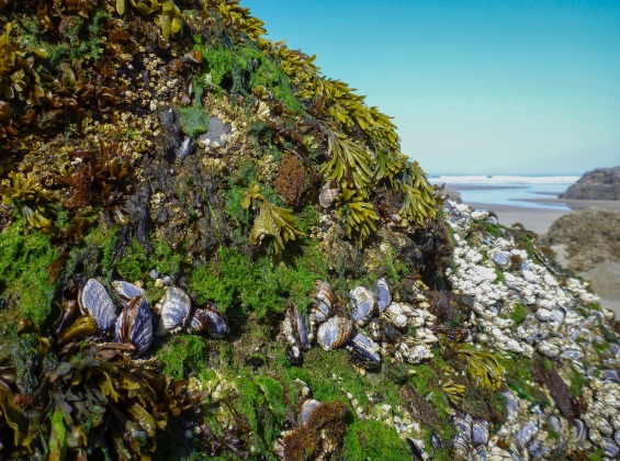 Mossy tufts of dark green Cladophora in a diverse intertidal assemblage