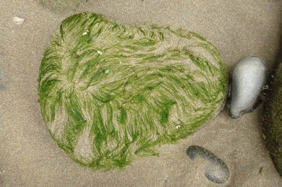 Green hair! Look on rounded rocks in the mid- or high intertidal