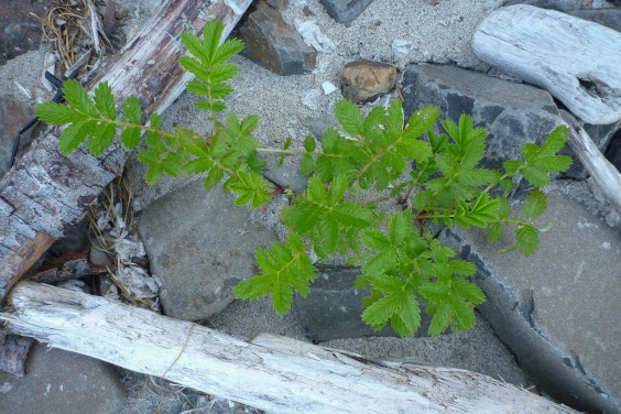 Small plant in the cobbles, driftwood, and drifted Velella