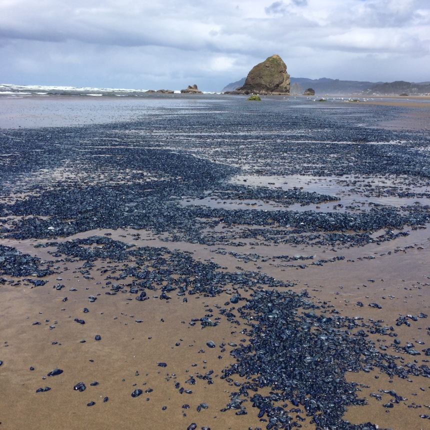 Extensive Velella drift