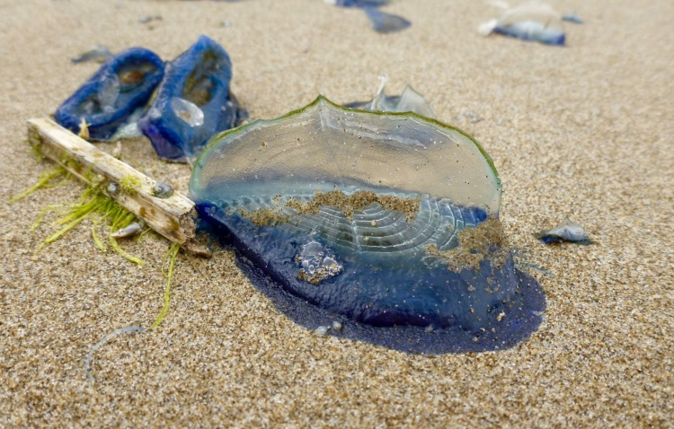 By-the-wind sailors, Velella vellela