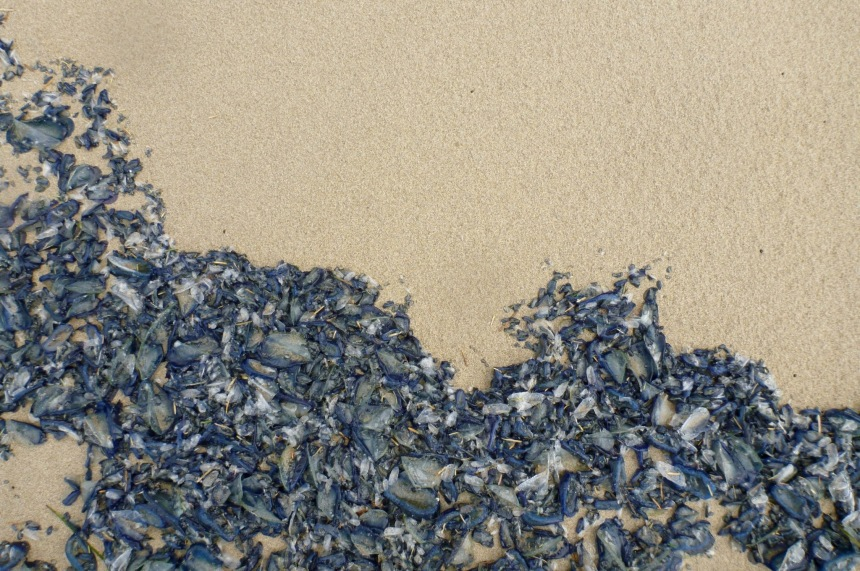 Velella in the driftline