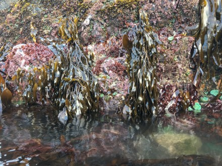 Rock wall covered with macroalgae exposed at low tide
