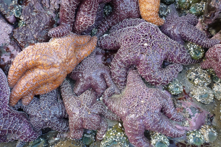 Bunch of Pisaster