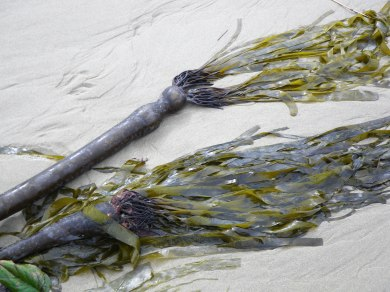 In fresh drift bull kelp, you'll see the blades, originating at the pneumatocyst (float)
