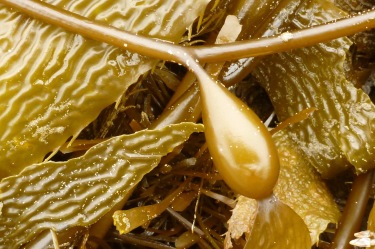 When fresh, drift Macrocystis pyrifera is an attractive find in the drift line
