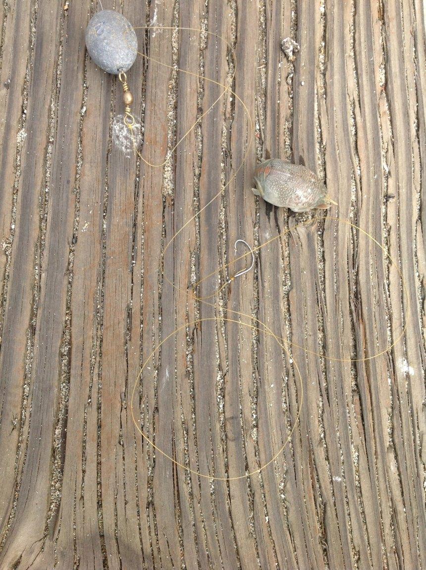 Pier rig and softshell Emerita
