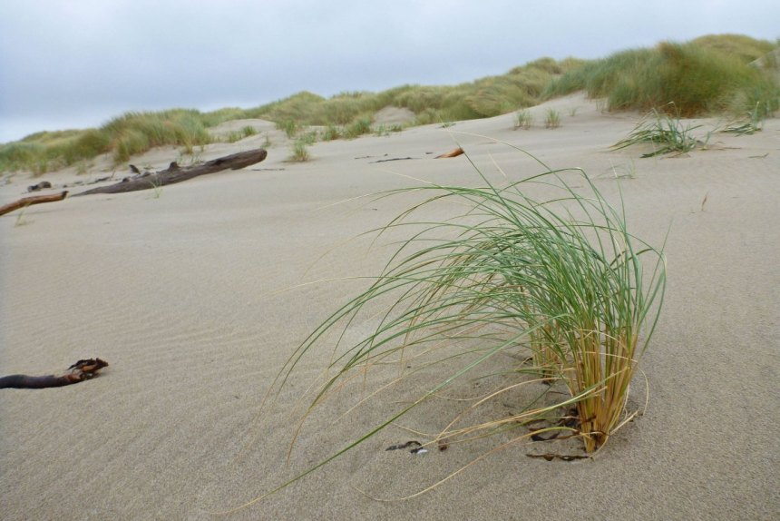 A pioneering dunegrass, Elymus, forges down toward the back beach