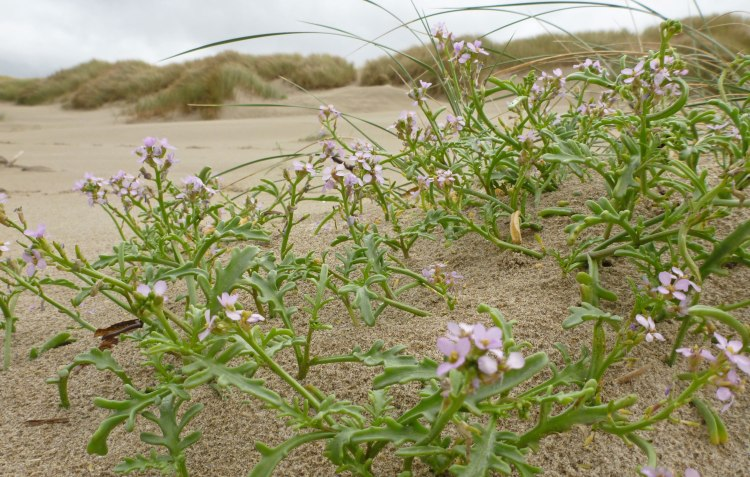 Sea rocket, Cakile endentula; in the background, the foredune with beachgrass, Ammophila arenaria/em>