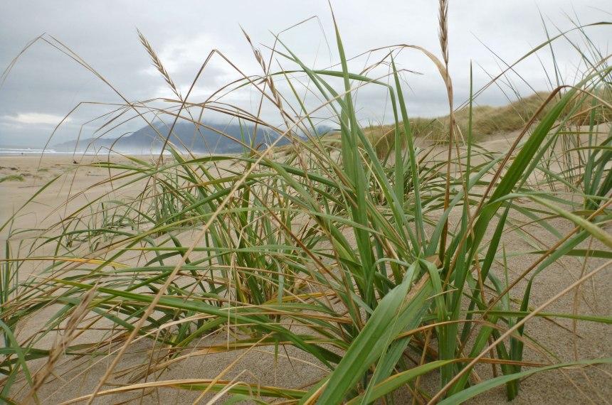 Dunegrass, Elymus molliscreeping down off the foredune onto the backshore