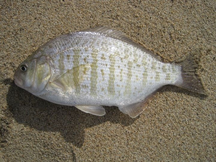 Female barred Surfperch laying on sand