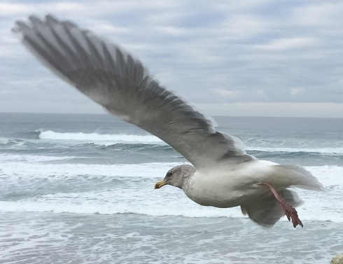 In: Waiting Out High Tide with an Olympic Gull https://theoutershores.com/2016/01/14/waiting-out-high-tide-with-an-olympic-gull/