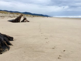 Coyote tracks on the beach. Cloudy day with foredune in the background