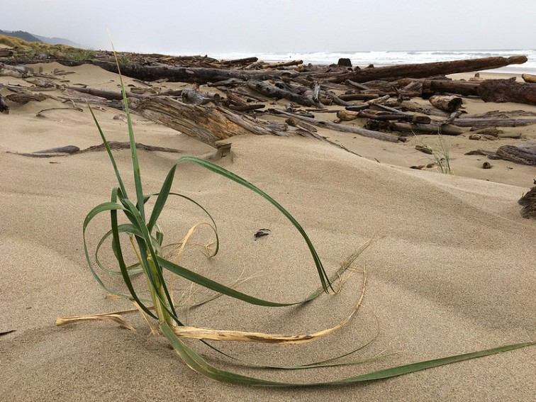 Lone dune grass plant pioneering onto the backshore; wrack line and surf in the background
