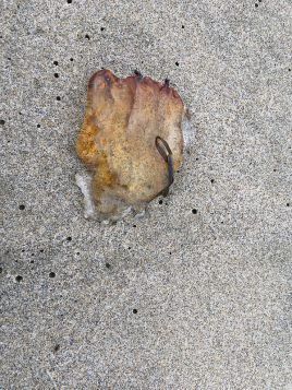 Sea nettle, Chrysaora, fragment   October